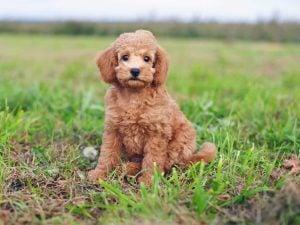 Teacup Poodle Size