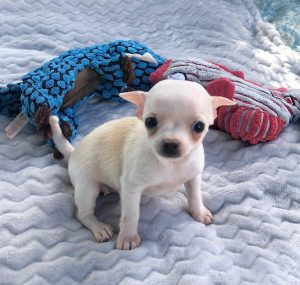 Uey's Chihuahua