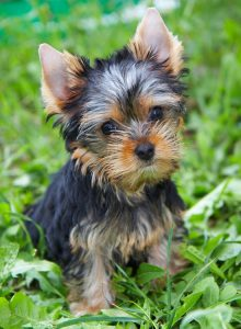 Variable Yorkshire Terrier Costs