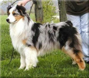 Watermark Australian Shepherds