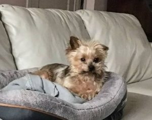 What Determines the Price of a Yorkshire Terrier