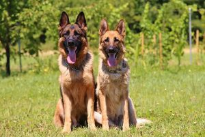 What Makes the German Shepherd Special