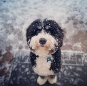 What Month Does a Mini Bernedoodle Reach Full Maturity