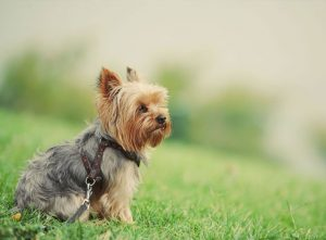 What is Included in the Price of a Yorkshire Terrier