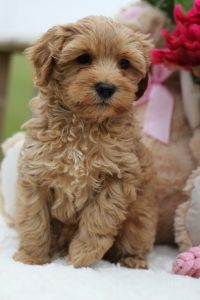 What is the Life Expectancy of an Australian Labradoodle