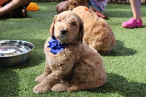 What is the Normal Australian Labradoodle Size