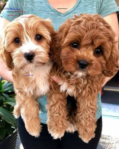What is the life expectancy of a Cavapoo