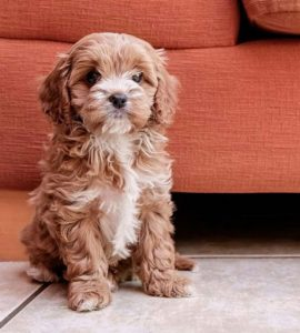 What is the normal size of a Cavapoo