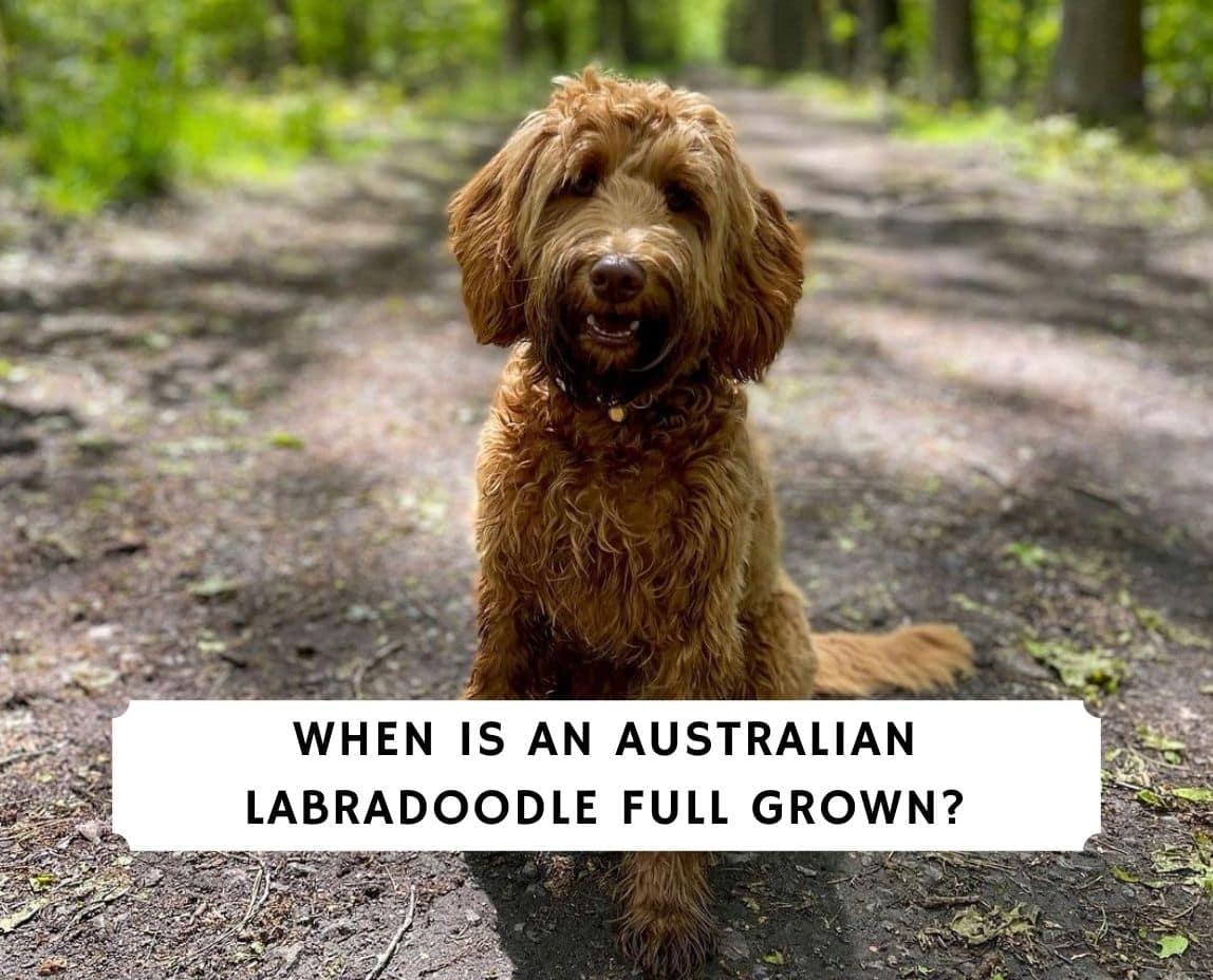 When is an Australian Labradoodle Full Grown