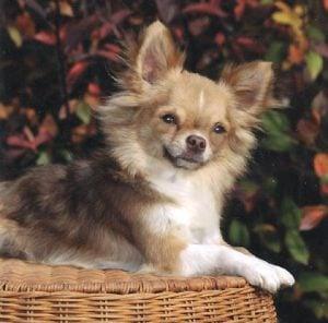 Wynhaven's Uneke Chihuahua