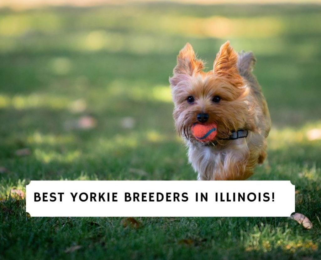Yorkie Breeders in Illinois