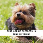 Yorkie Breeders in Pennsylvania