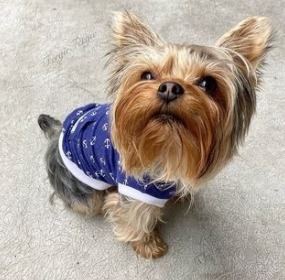 Yorkie Puppies For Sale in Pennsylvania