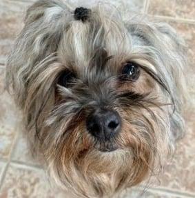 Yorkie poo Dog Breed Info