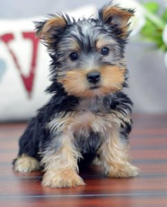 Your Yorkie is scared