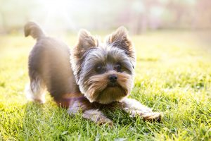 Your Yorkshire terrier is excited
