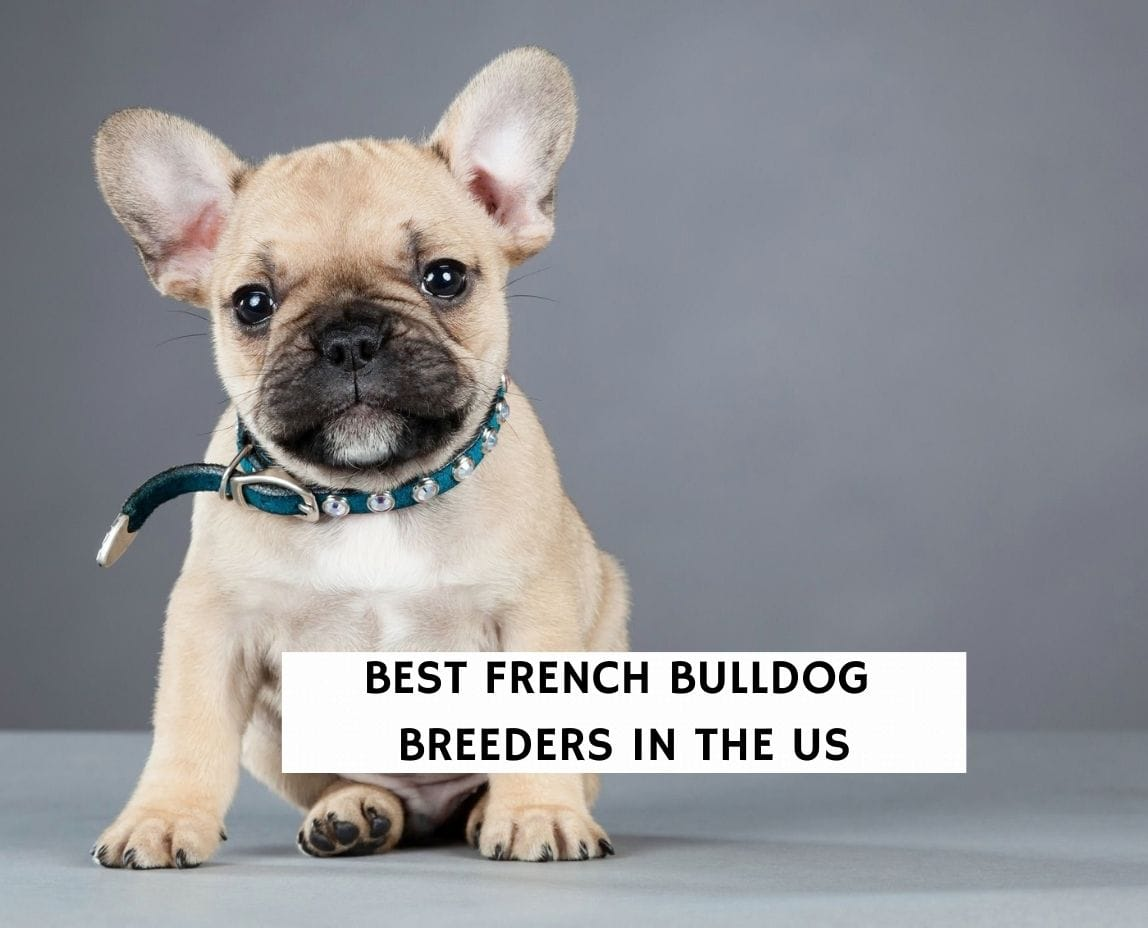 Best French Bulldog Breeders in the US