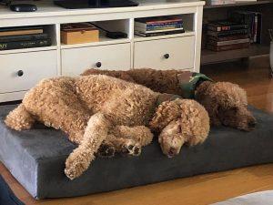 best goldendoodle dog bed