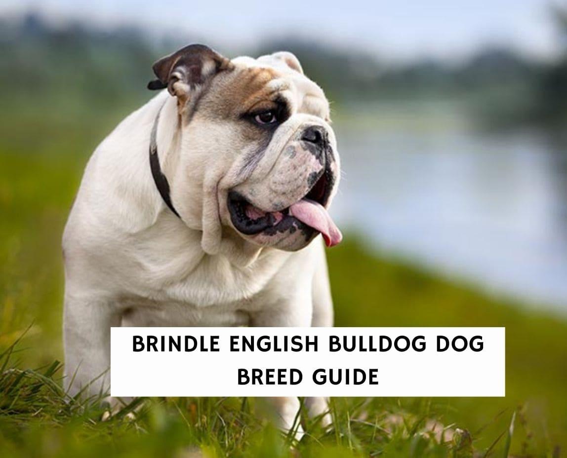 Brindle English Bulldog Dog Breed Guide