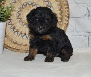 creekside puppy adoptions mini poodle