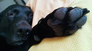 What are the dog breeds that have webbed feet?