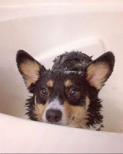 flea shampoo for puppies