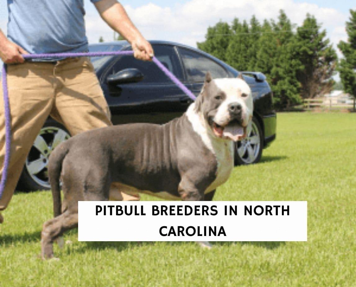 Pitbull Breeders in North Carolina