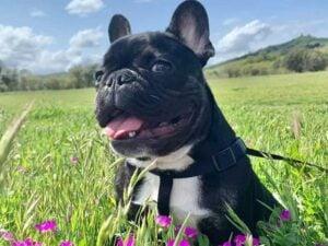 puppyspot french bulldogs north carolina