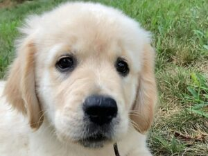 puppyspot golden retrievers new york