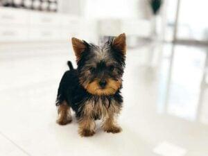 puppyspot yorkies florida
