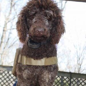 stubborn dog remote shock collar