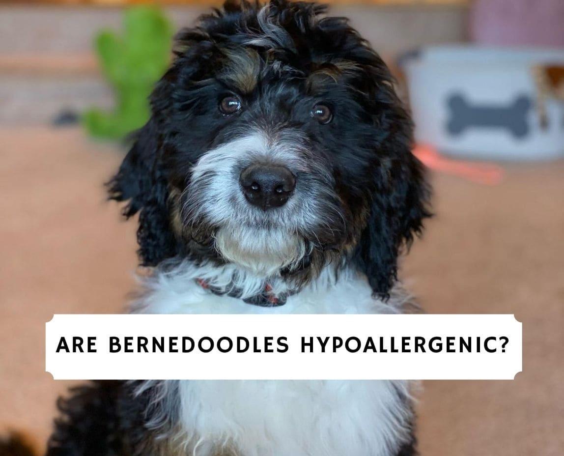 Are Bernedoodles Hypoallergenic_
