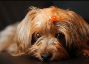 Facts About Yorkie Poos