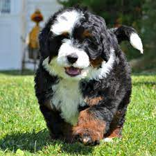 Australian Labradoodle and the Bernese Mountain dog Mix