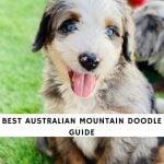 Australian Mountain Doodle
