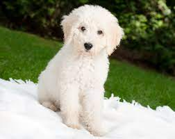 Is a Cockapoo Right For You