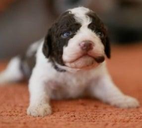 Benefits of Non-Shedding Dog Breeds