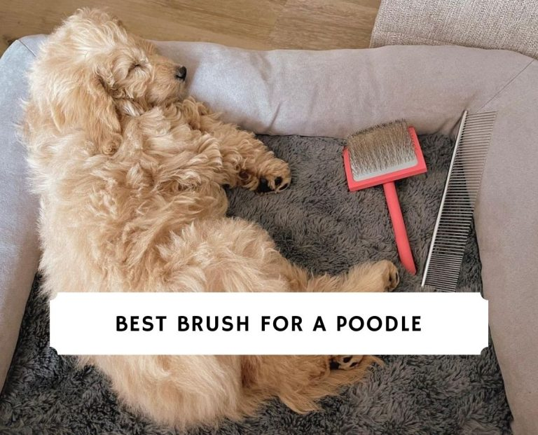 Best Brush for a Poodle