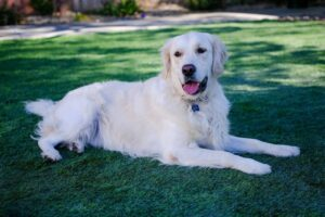 English Cream Golden Retriever Puppies For Sale in the United States