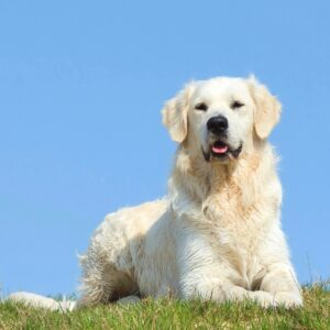 Conclusion For The Best English Cream Golden Retriever Breeders