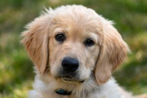Golden Retriever Puppies For Sale in the Midwest
