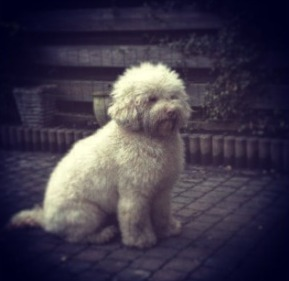 Blonde Labradoodle Health Issues
