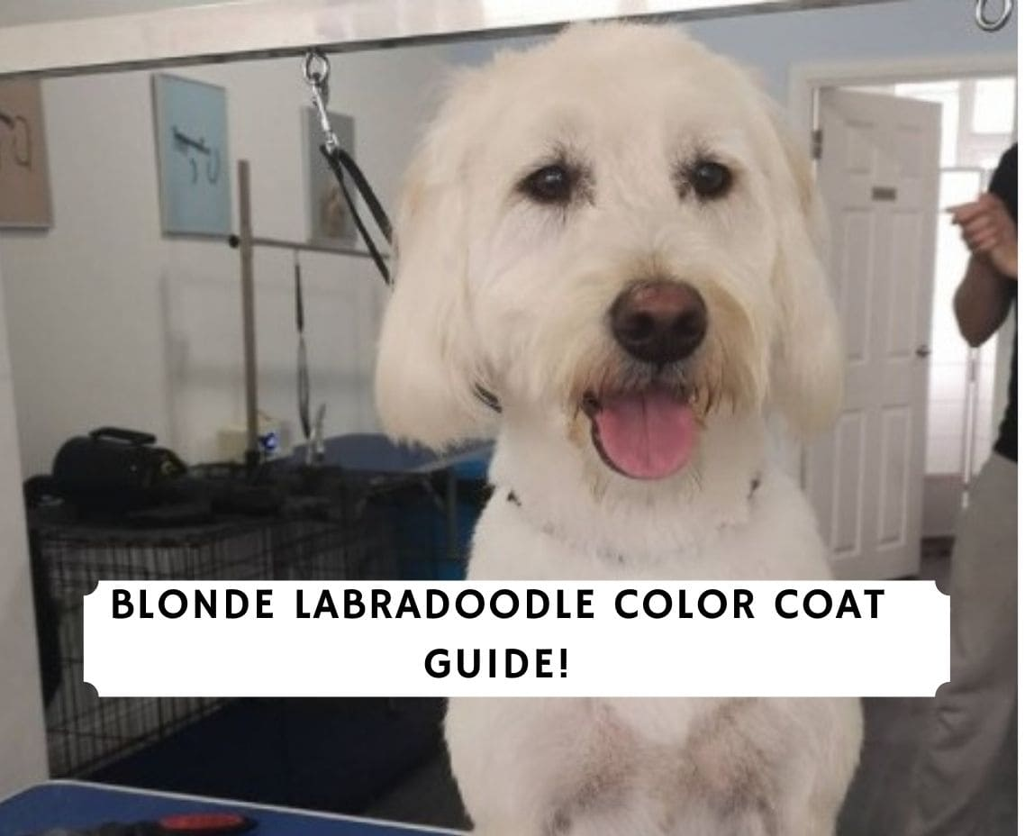Blonde Labradoodle