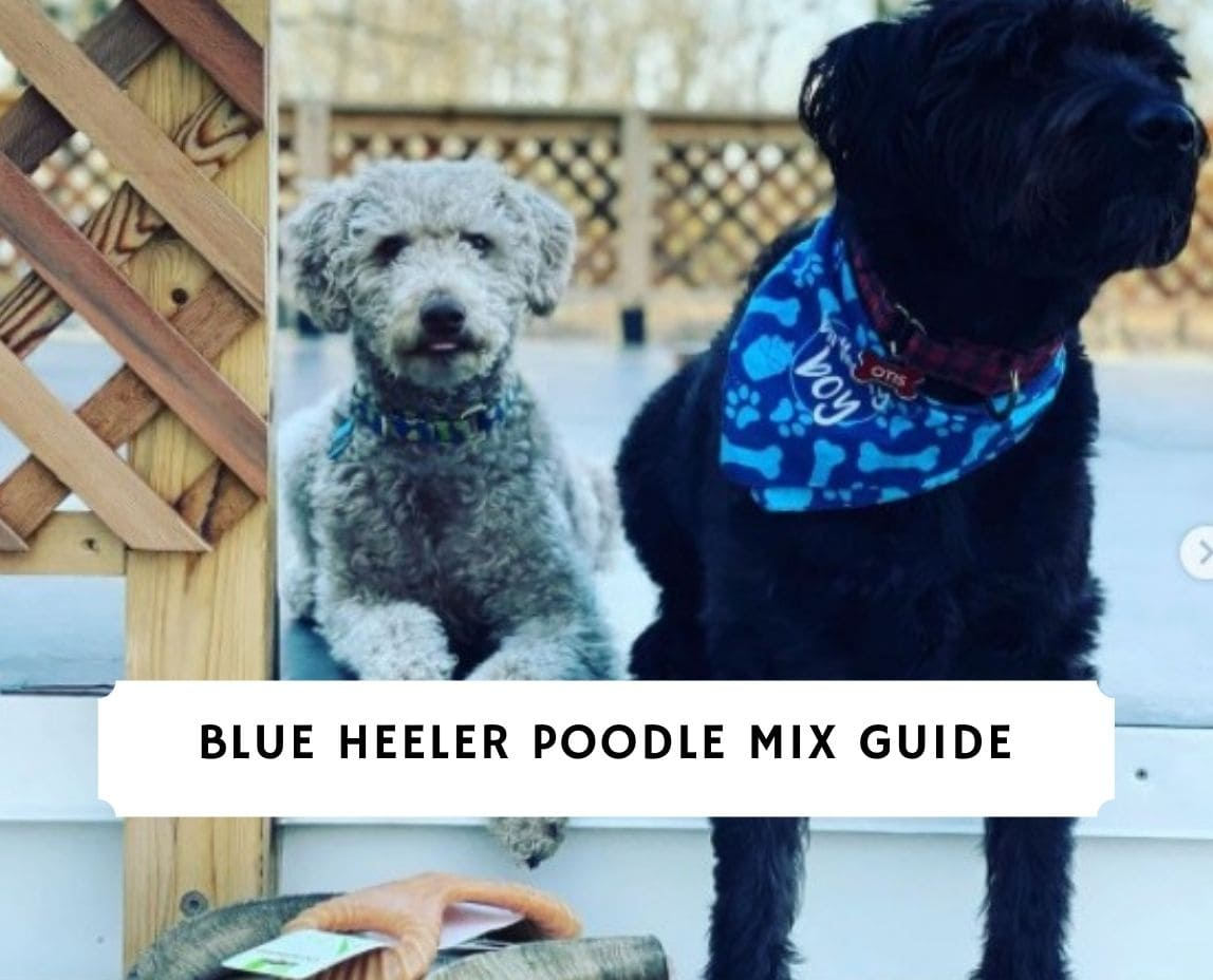 Blue Heeler Poodle Mix