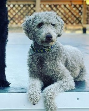 Blue Heeler Poodle Mix Care and Grooming