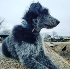 Blue Heeler Poodle Mix Diet