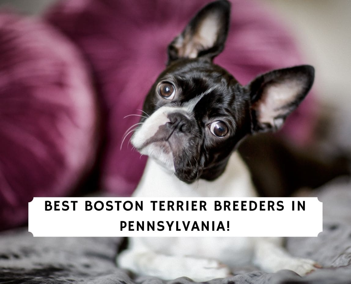 Boston Terrier Breeders in Pennsylvania