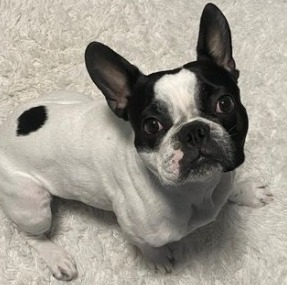 Boston Terrier Puppies For Sale in Pennsylvania