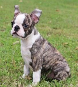 Boston Terriers of Texas