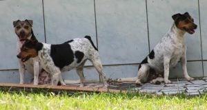 Brazilian Terrier no tail